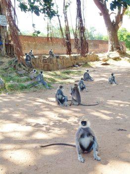 attroupement de singes