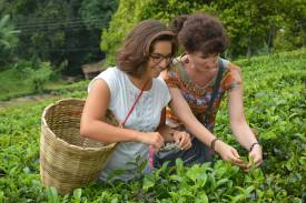 cueillette de thé par Maylis et Armelle