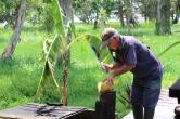 un homme découpe une noix de coco