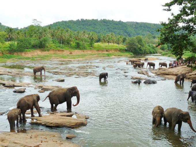réserve d'éléphants à Pinnawala