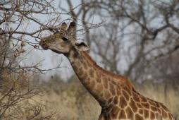 girafe tendant le cou pour se nourrir aux arbres