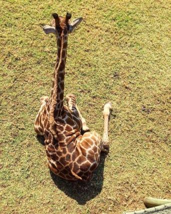 Dos de girafe au soleil