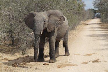 éléphant au bord de route