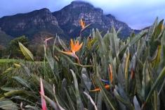 """Fleurs """"oiseaux de paradis"""" et montagnes au second plan"""