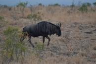 Gnou lors du safari