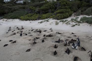 Groupe de manchots sur la plage au Cap