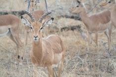 portrait d'antilope impala au sein de son groupe