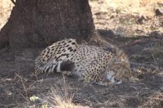 Jaguar qui dort au pied d'un arbre