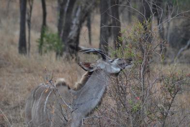 Kudu en plein festin