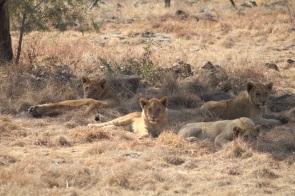 Lionceaux qui dorment