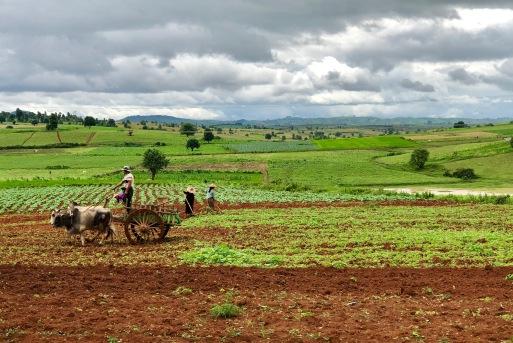 Champ de choux _ charrue, birmanes aux chapeaux, et verdure au dernier plan